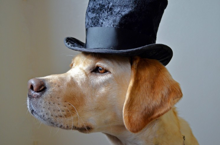 Zeva the dog in a top hat