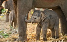 Elephants Never Forget Their Mothers